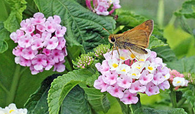 Becky Photograph - Moth On Lantana by Becky Lodes