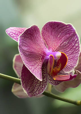 Moth Orchid Curvation Print by Bill Tiepelman