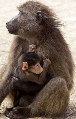 Mother And Baby Chacma Baboon Art Print by Bob Gibbons