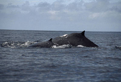 Rurutu Photograph - Mother And Calf Humpback Whales by Paul Sutherland