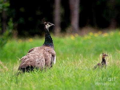 Photograph - Mother And Child . Peacocks . 40d9016 by Wingsdomain Art and Photography