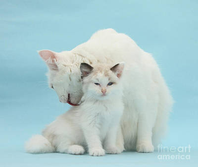 Pet Care Photograph - Mother Cat Caring For Kitten by Mark Taylor