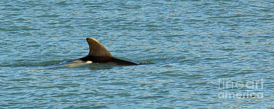 Photograph - Mother Dolphin With Baby by Terri Mills