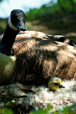 Photograph - Mother Goose And Gosling by Emanuel Tanjala