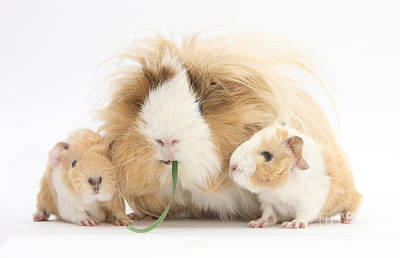 Mother Guinea Pig And Baby Guinea Art Print by Mark Taylor