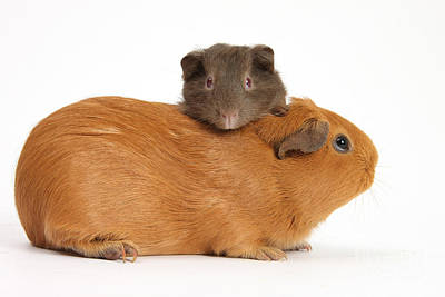 Mother Guinea Pig With Baby Guinea Pig Print by Mark Taylor