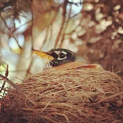 Birds Wall Art - Photograph - mother #nest #robin #bird #indiana by Melissa Wyatt