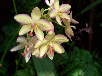 Designers Choice Photograph - Mother Of Pearl Orchids by Don Wright
