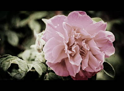 Photograph - Mother's Day Rose by Amee Cave