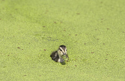 Photograph - Mottled Duckling by Patrick M Lynch