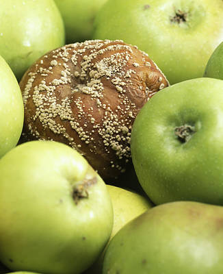 Mouldy Apple Art Print by Sheila Terry