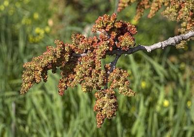 Pistache Tree Photograph - Mount Atlas Pistache (pistacia Atlantica) by Bob Gibbons