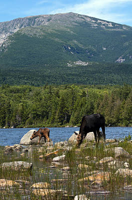 Photograph - Mount Katahdin Moose by Glenn Gordon