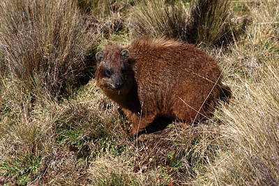 Photograph - Mount Kenya Hyrax by Aidan Moran
