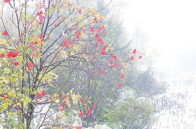 Mountain Ash And Snow Along The Highland Scenic Highway Art Print by Thomas R Fletcher