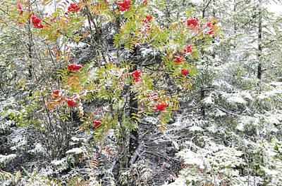 Mountain Ash And Snow  Art Print by Thomas R Fletcher