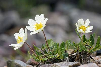 Avens Photograph - Mountain Avens (dryas Octopetala) by Duncan Shaw