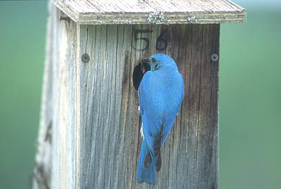 Photograph - Mountain Bluebird Feeding Young by Jan Piet