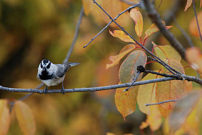Photograph - Mountain Chickadee 1 by Jan Piet