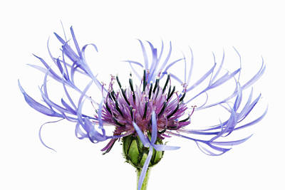Mountain Cornflower (centaurea Montana) Against White Background Art Print by Frank Krahmer