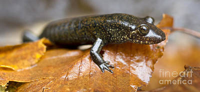 Mountain Dusky Salamander Print by Dustin K Ryan