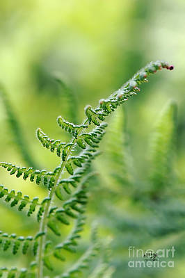 Photograph - Mountain Fern by Lois Bryan