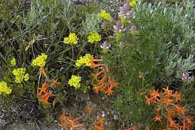 Eriogonum Photograph - Mountain Flowers, Usa by Bob Gibbons