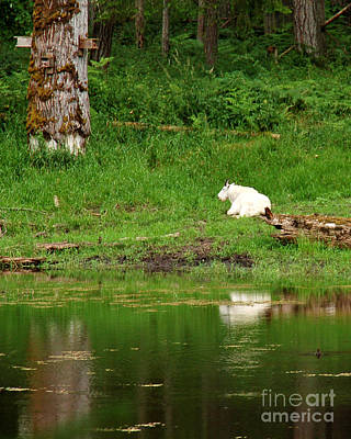 Photograph - Mountain Goat At Rest by Chuck Flewelling