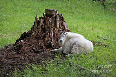 Advertising Archives - Mountain Goat at Rest by Sean Griffin
