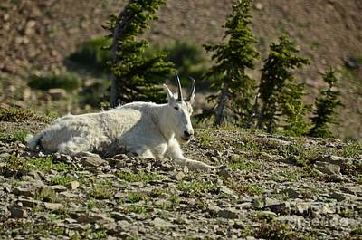 Photograph - Mountain Goat by Cassie Marie Photography