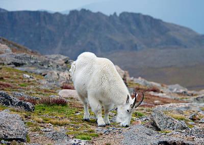 Mountain Goat Grazing Art Print by Stephen  Johnson