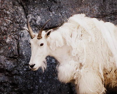Photograph - Mountain Goat by Ramona Johnston