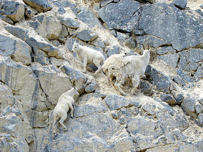 Photograph - Mountain Goats 2 by Bruce Ritchie