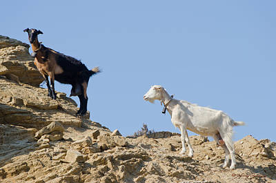 Photograph - Mountain Goats by Johnny Sandaire