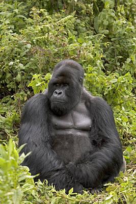 Photograph - Mountain Gorilla Silverback In Rwandan Forest by Ingo Arndt
