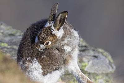 European Hare Wall Art - Photograph - Mountain Hare Moulting by Duncan Shaw