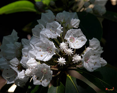 Photograph - Mountain Laurel Dsmf038 by Gerry Gantt
