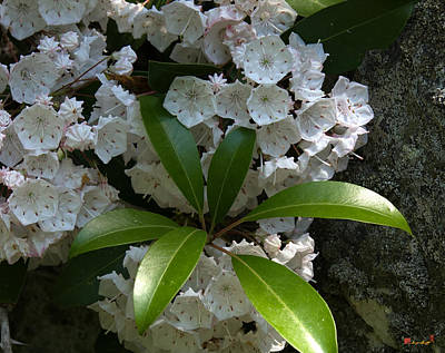 Photograph - Mountain Laurel Dsmf046 by Gerry Gantt
