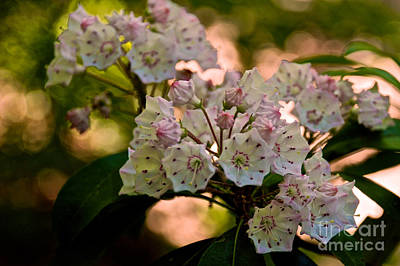 Photograph - Mountain Laurel Flowers 2 by Mark Dodd