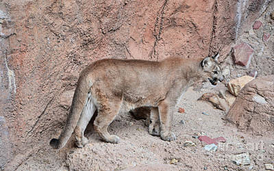 Photograph - Mountain Lion by Donna Greene