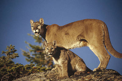 Mountain Lion Mother With Kitten North Art Print