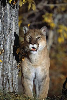 Boldness Photograph - Mountain Lion by Natural Selection David Ponton