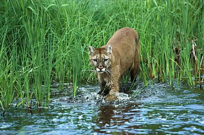 Mountain Lion Puma Concolor Wading Art Print by Konrad Wothe