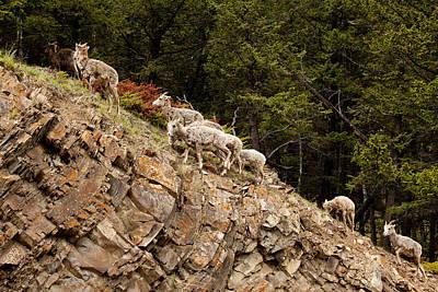 Mountain Sheep 1670 Art Print by Larry Roberson