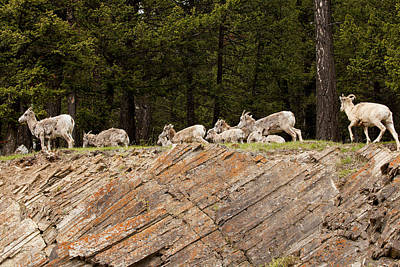 Mountain Sheep 1673 Art Print by Larry Roberson
