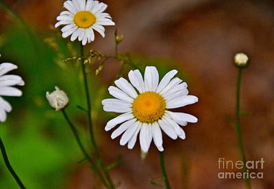 Photograph - Mountain Wildflower by Carol  Bradley