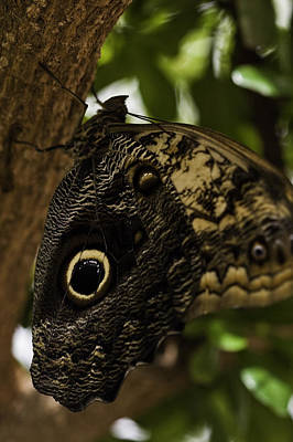 Photograph - Mournful Owl Butterfly by Perla Copernik