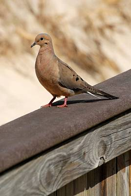 On Paper Photograph - Mourning Dove 235 by Joyce StJames