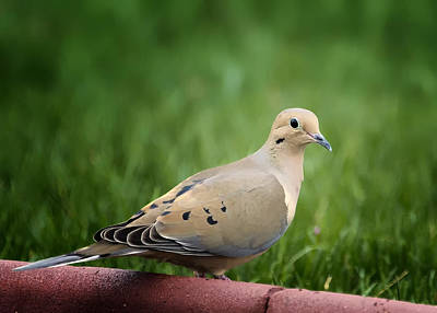Mourning Dove Art Print by Bill Tiepelman