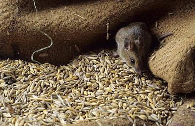 Mouse By Spilt Grain Print by David Aubrey